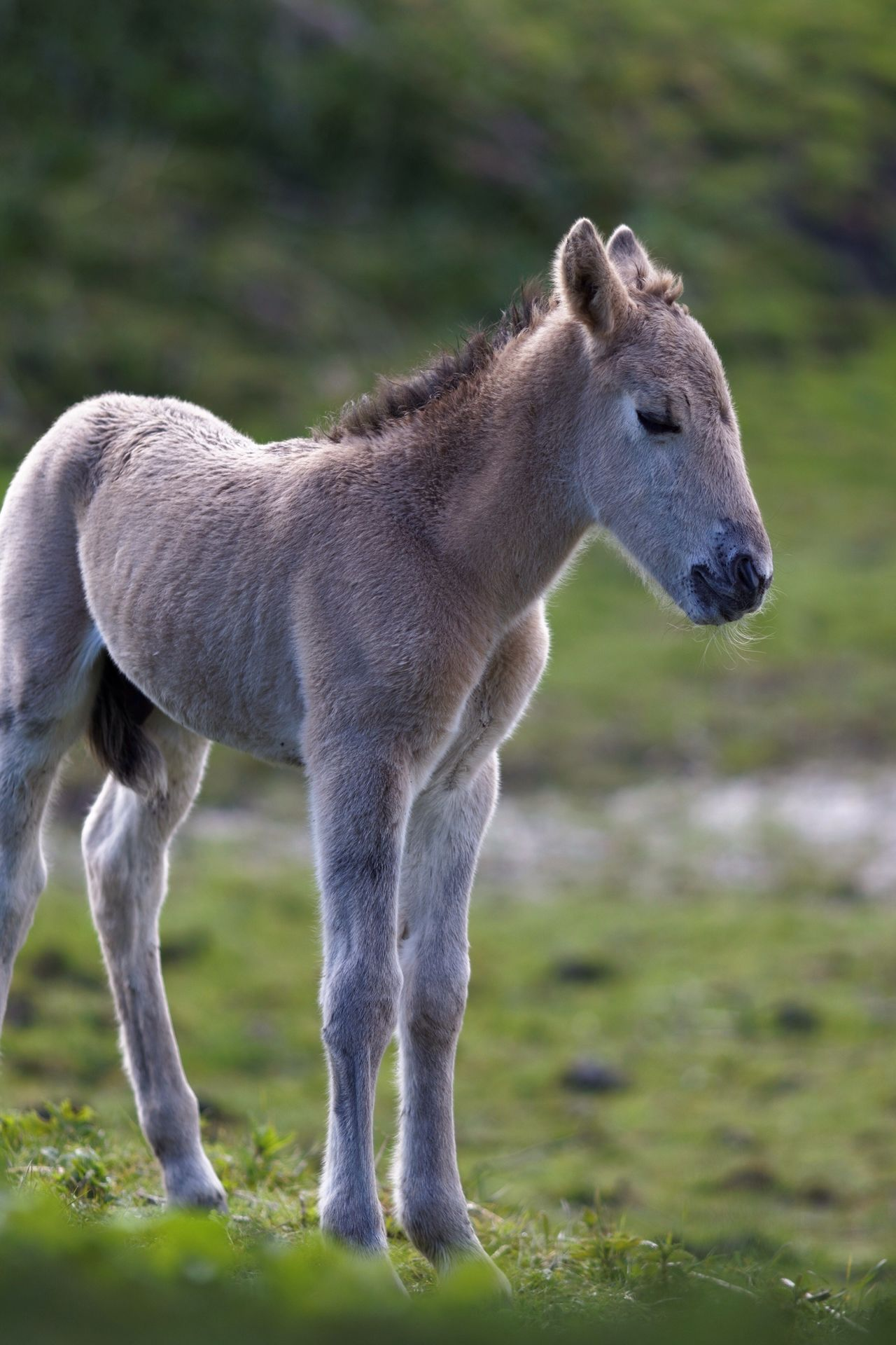 Newly Born Boy Konik Horse Animal Themes Mammal One Animal Field Animals In The Wild Day No People Domestic Animals Nature Standing Full Length Animal Wildlife Grass Outdoors For Bokeh's Sake