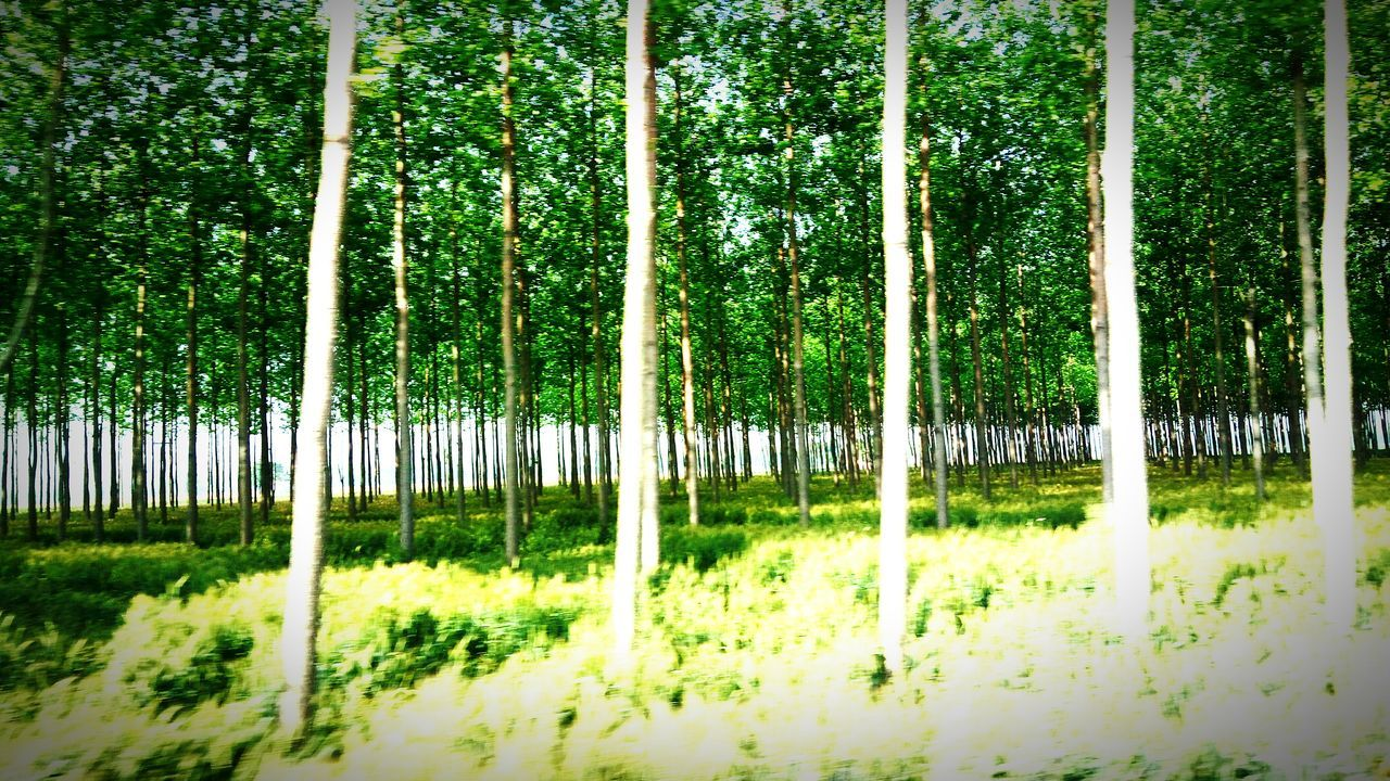 nature, tree, growth, tranquility, green color, beauty in nature, no people, bamboo - plant, bamboo grove, grass, day, outdoors, tranquil scene, forest, tree trunk, scenics