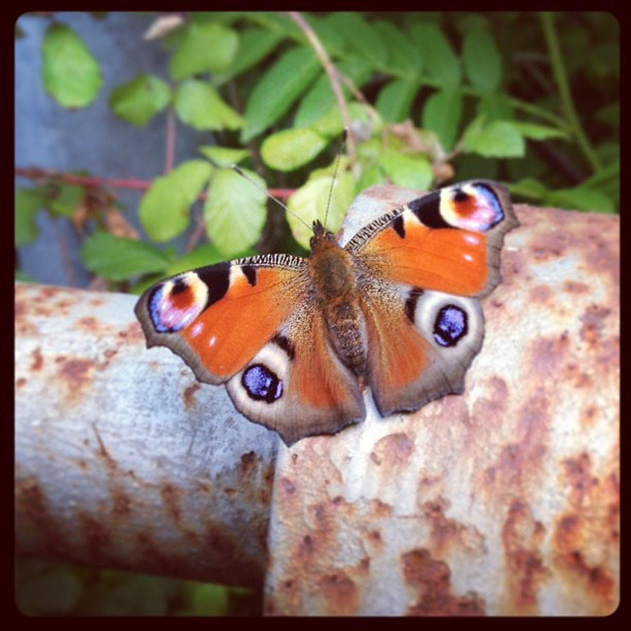 Mariposa Usansolo Negua Insecto