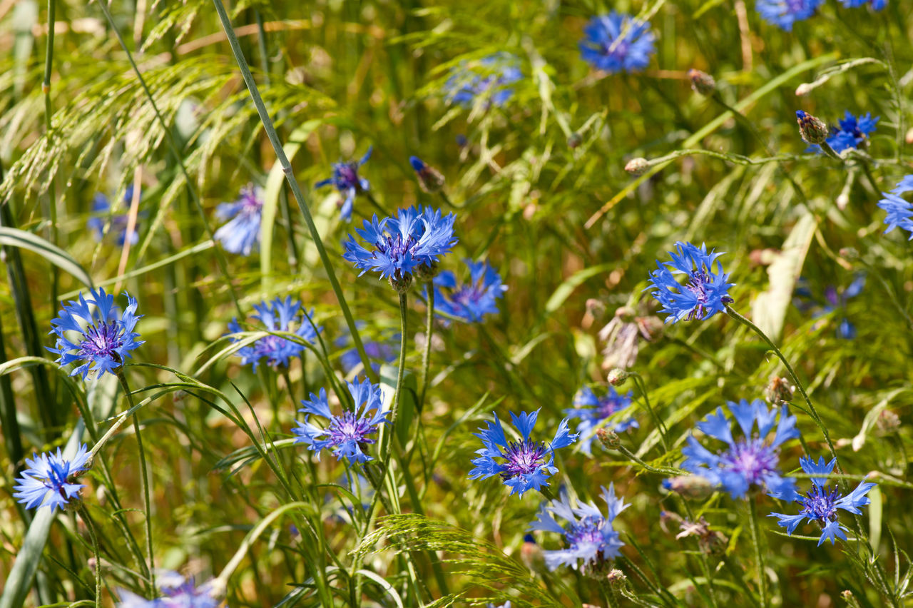 Many Centaurea cyanus or Cornflower blue plants and grass ears on meadow, bunch of flowers in summertime. Photo taken in Poland. Bachelor Bachelors Button Bloom Blooming BlueBottle Centaurea Cyanus Cornflower Cornflowers Cyanus Field Flower Flowerhead Flowerheads Flowers Grass Green Grow Growing Hurtsickle Nature No People Plant Plants Poaceae Weed