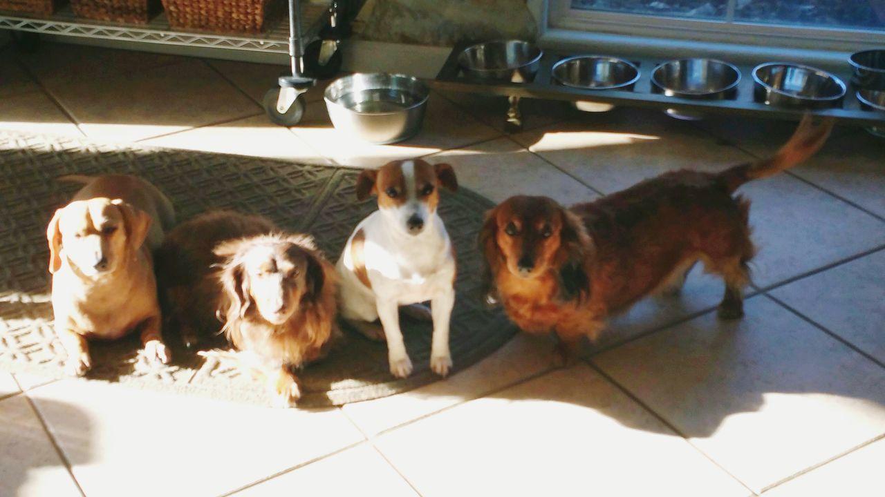 Dog Domestic Animals Sunlight Indoors  Hi Duchsunds Doxie Love Shayla ♥️ Maya♥️ Molly ❤❤ Pearl♥️