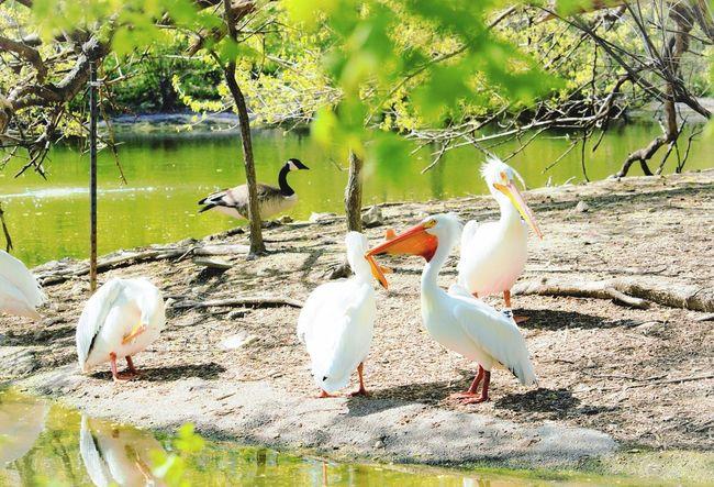 Saint Louis zoo inclosure Saintlouis Saintlouiszoo Zoobirds Zoo Animals  Animals Canonrebelt5i Canonphotography Rebel Relaxing