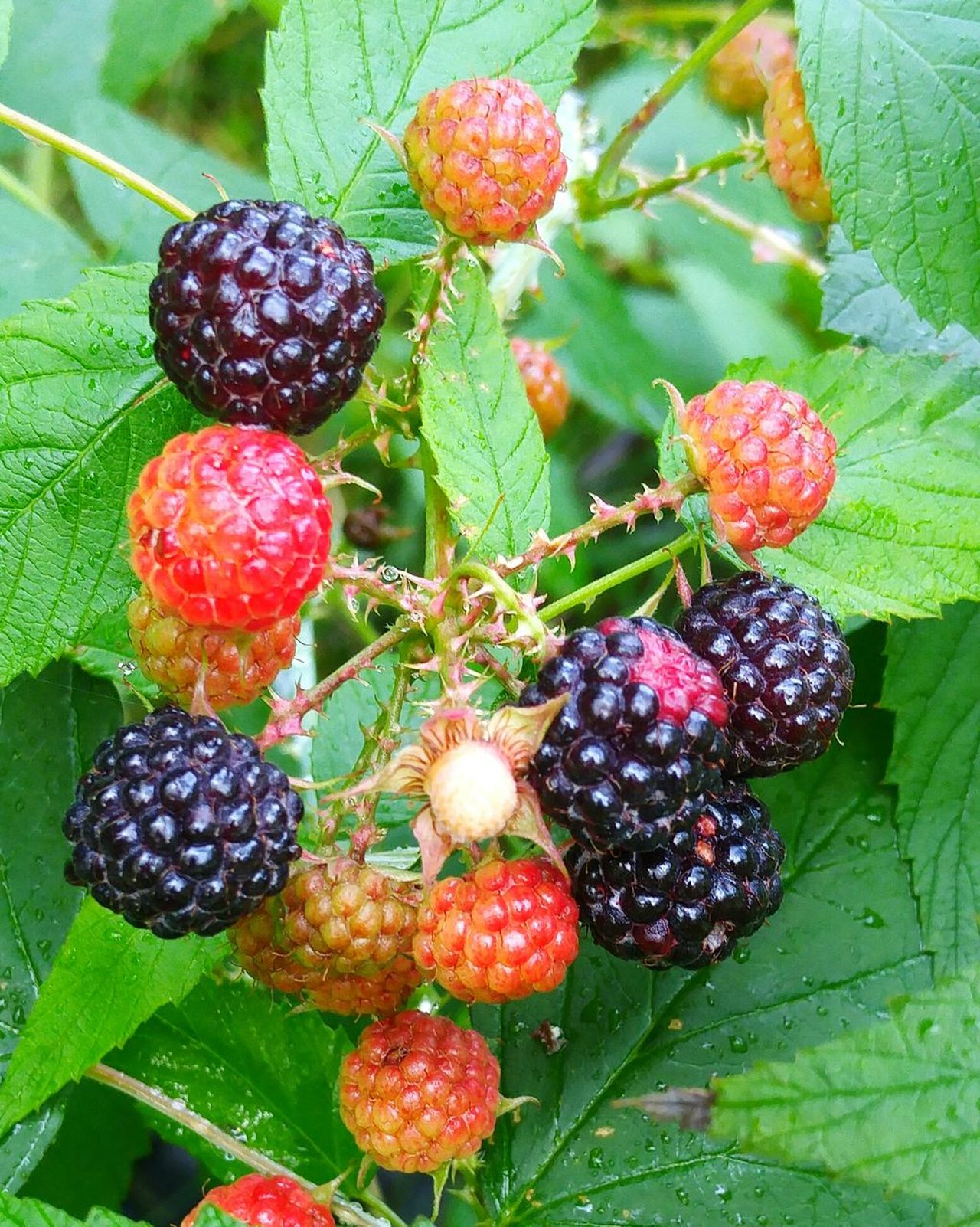 Wild blackberries Beauty In Nature Close-up Fruit No People Nature Fragility