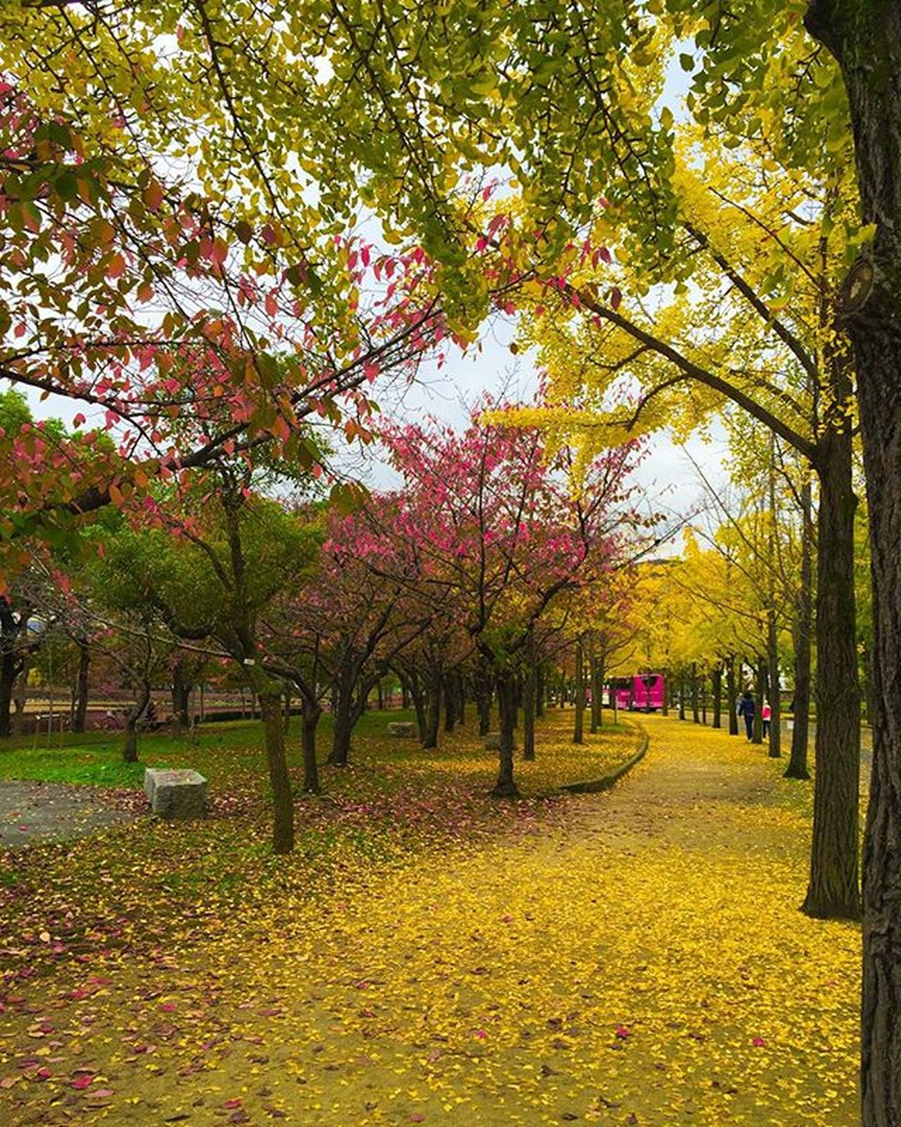 🍁🍂💛💛💛🍁🍂 At the park around Osaka Castle ... feasting my eyes on the beautiful colors of autumn . Have a lovely day my friends 😘💛😘 Garden Autumn Awesome_japan All_shots Landscape Landscape_lovers Landscape_captures Landscapestyles_gf Landscapes Vscocam VSCO Phototag_it Photooftheday Master_pics Master_shot Ig_sharepoint Ig_world Igs_today Instagood Instamood Globalcapture Insta_worldz Travel Holiday Nature naturelover rsa_nature jp_views worldbestgram instagram