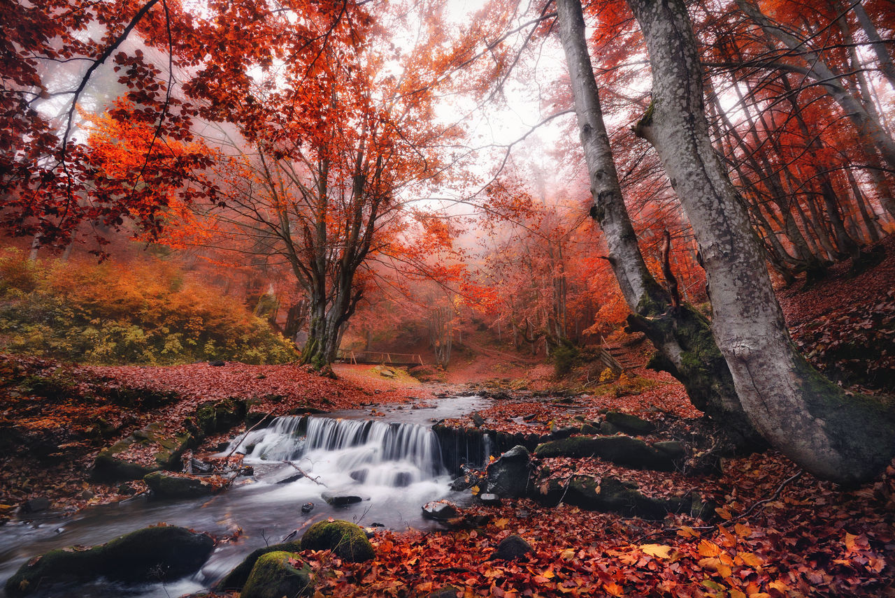 Mystical autumn beech mountain forest with lots of red fallen leaves and a small mountain creek with a bridge. Beech Beechleaves Carpathian Creek Fall Fall Leaves Fashion Focus On Foreground Foliage Forest Leaves Misty Misty Morning Mountain Forest Mystery Oak Red Stream Trunk Water WoodLand