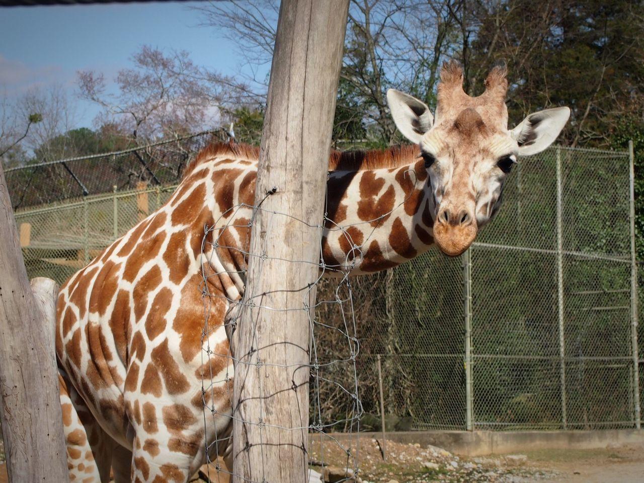 Beautiful stock photos of lustige giraffe, animal themes, fence, tree, one animal