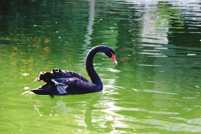 Animals In The Wild Black Swan Bird Animal Themes Lake Animal Wildlife One Animal Swan Swimming Water Nature No People Day Outdoors