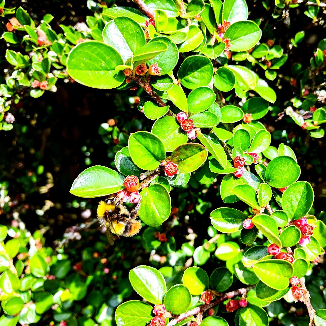 Worker Bee Green Color Leaf Nature Growth Plant Beauty In Nature Outdoors No People Day Branch Close-up One Animal Freshness Animal Themes Green Leaves Green Bush Red Flower Black And Yellow  Endangered Animals In The Wild Animal Wildlife Foraging Pollen Buzzing Bee