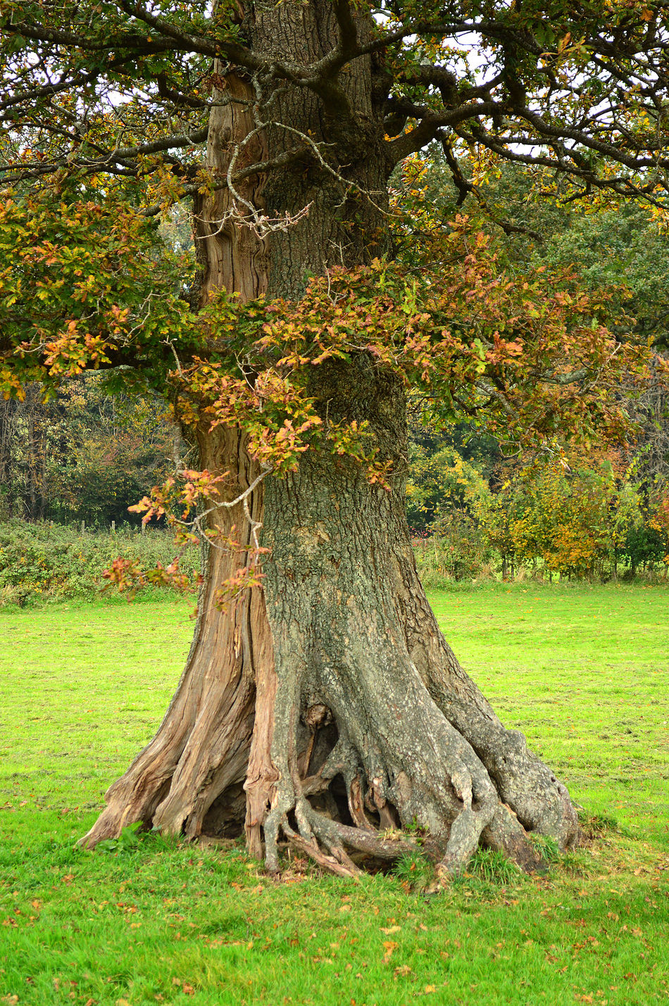 Beauty In Nature Devon England English Oak Filham Park FilhaMeuAmorMaior💞 Grass Green Color Growth Ivybridge Knarled Roots Landscape Nature No People Oak Oak Tree Outdoors South Hams Sunlight Tree Tree Trunk