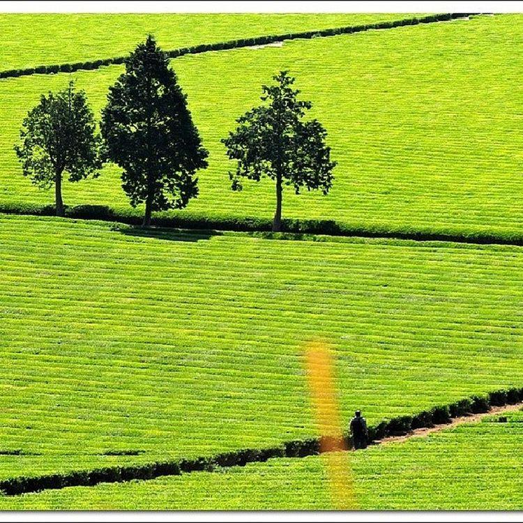 보성다원  보성  차밭 Boseong tea_garden plantation