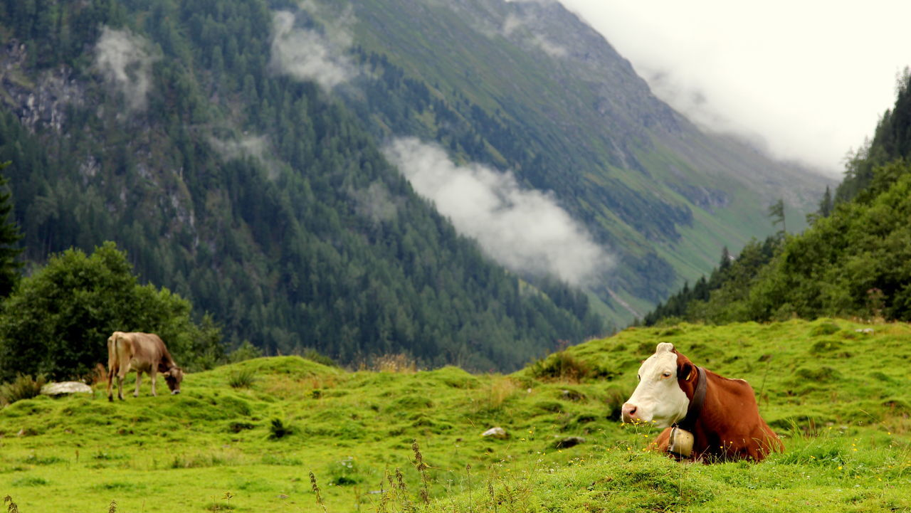 Beautiful stock photos of lippen,  Beauty In Nature,  Bell,  Cattle,  Cow
