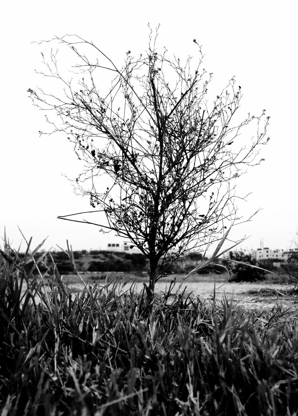 Plant Grass Blackandwhite Photography Black And White Photography Blackandwhitephotography IPhoneography Iphoneonly IPhone Iphonephotography Iphonesia IPhone Photography IPhone 4S IPhone4s Mobilephotography Mobile Photography Mobilephoto Bangalore India
