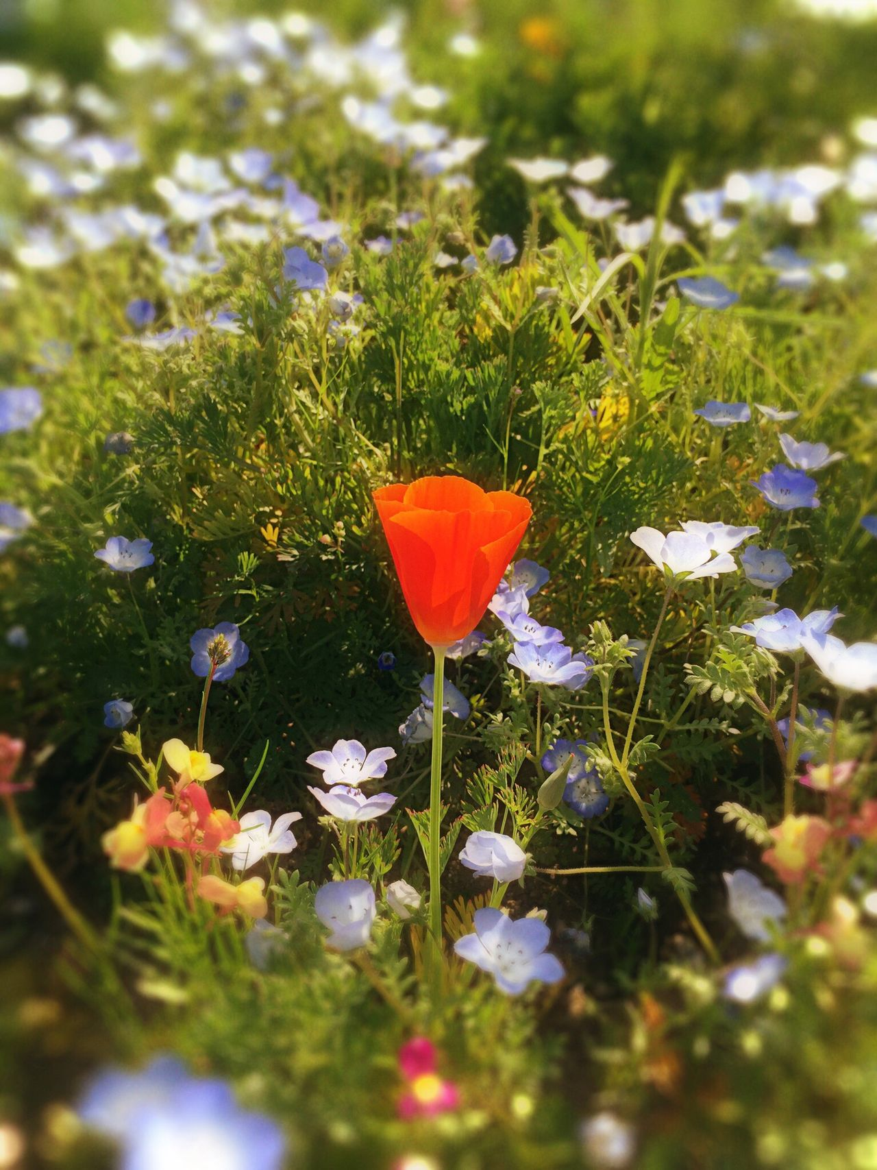 Alone and beautiful California Love My Favorite Photo California Poppy Flowers Flowerporn Flower Collection Flowers,Plants & Garden Flower Porn Flower Head Flowers, Nature And Beauty Flower Photography Flowers_collection Flowerlovers Flowerpower l Flower Power Sunny Garden Garden Photography Nemophila