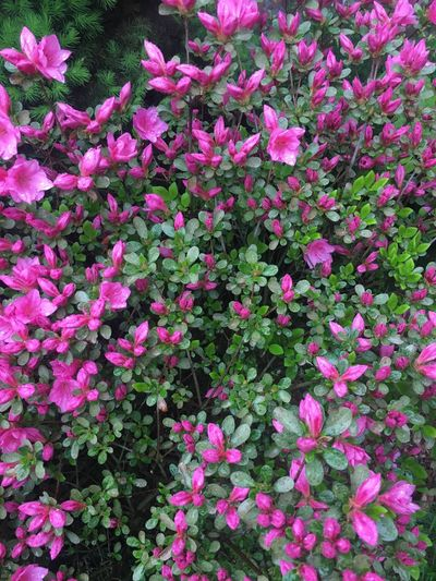 Flower Pink Color Growth Plant Beauty In Nature Nature Petal Fragility No People Outdoors Blooming Freshness Day Flower Head Close-up Petunia