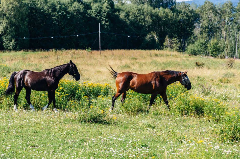 Horses in field in Sweden Animal Themes Beauty In Nature Dalarna Day Domestic Animals Field Grass Growth Horse Landscape Livestock Mammal Nature No People Outdoors Pasture Summer Sweden Swedish Swedish Nature Tranquil Scene Tree Tällberg