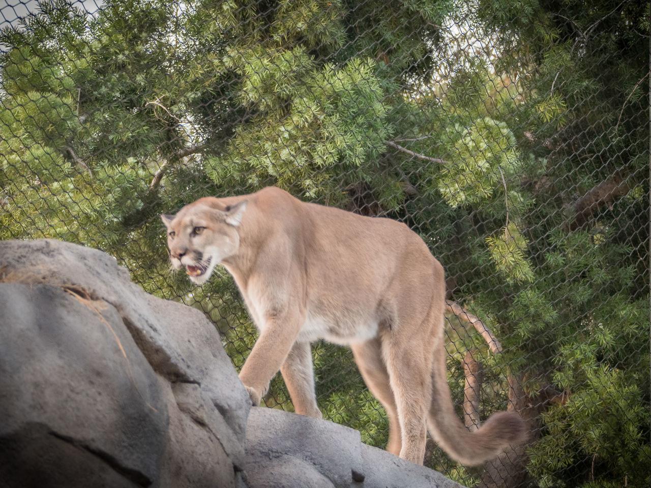 Beautiful stock photos of puma, animal themes, animals in the wild, mammal, one animal