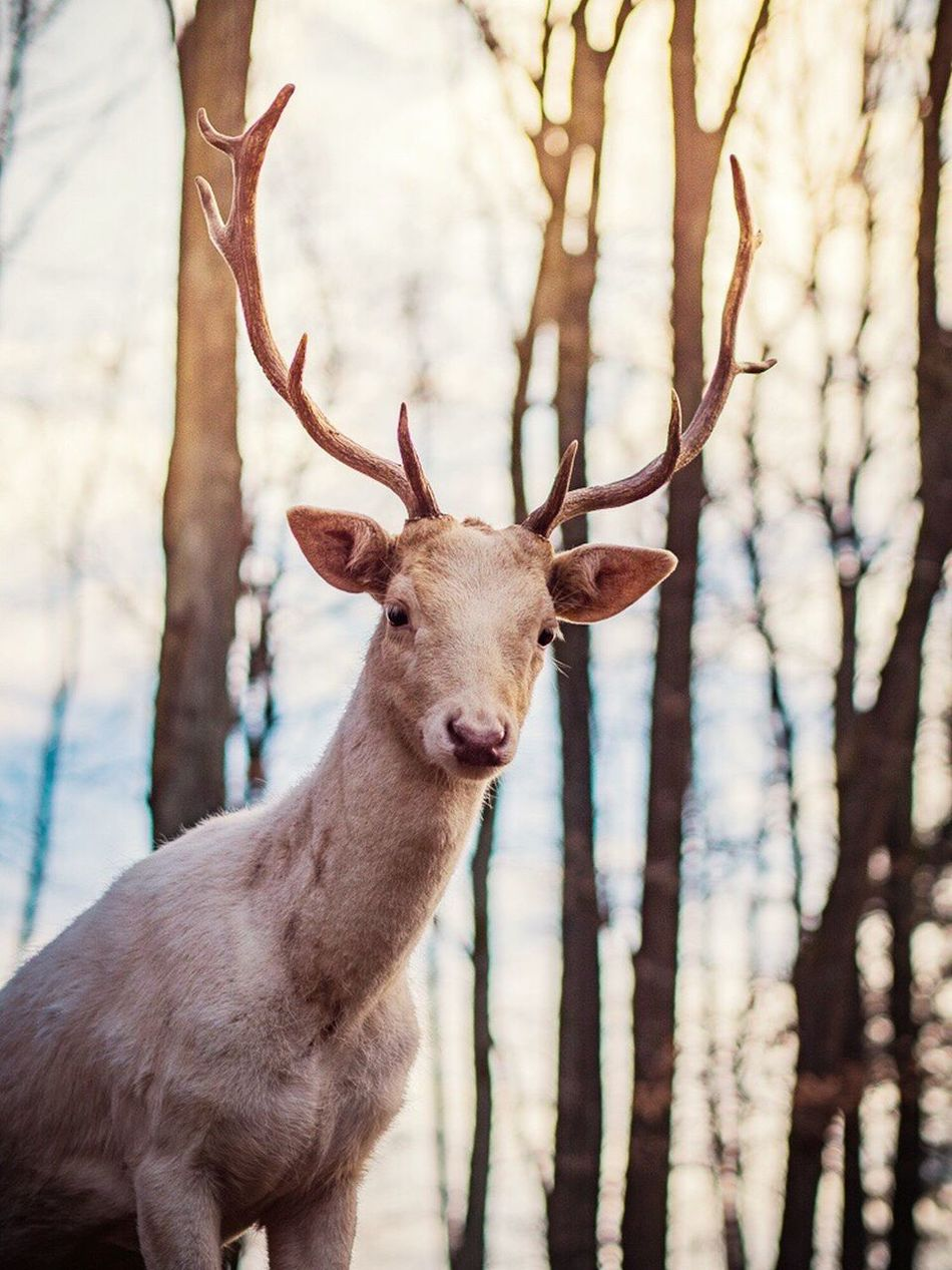 Animal Themes Tree One Animal No People Looking At Camera Nature Day Antler Outdoors Portrait Mammal Deer Animals In The Wild Close-up Sky Stag Nature On Your Doorstep EyeEm Best Shots - Nature Nature_collection Animal Wildlife EyeEm Nature Lover