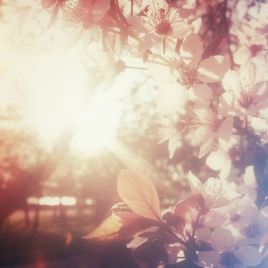 Spring is love. Nature Spring Cherry Blossoms Hanami