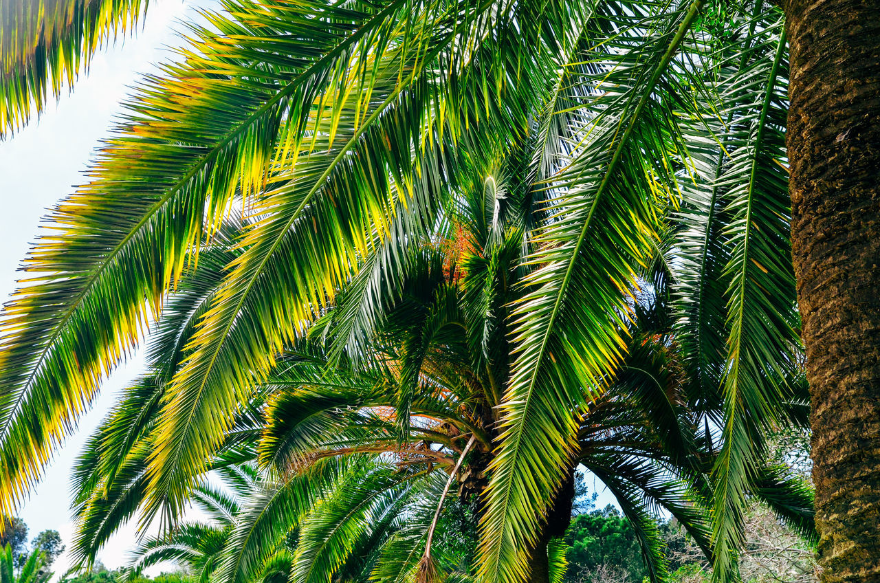 Backgrounds Beauty In Nature Branch Close-up Coconut Palm Tree Day Green Green Color Growing Growth Leaf Low Angle View Nature No People Outdoors Palm Leaf Palm Tree Pine Tree Scenics Sky Tall - High Tranquility Tree Tree Trunk Tropical Climate