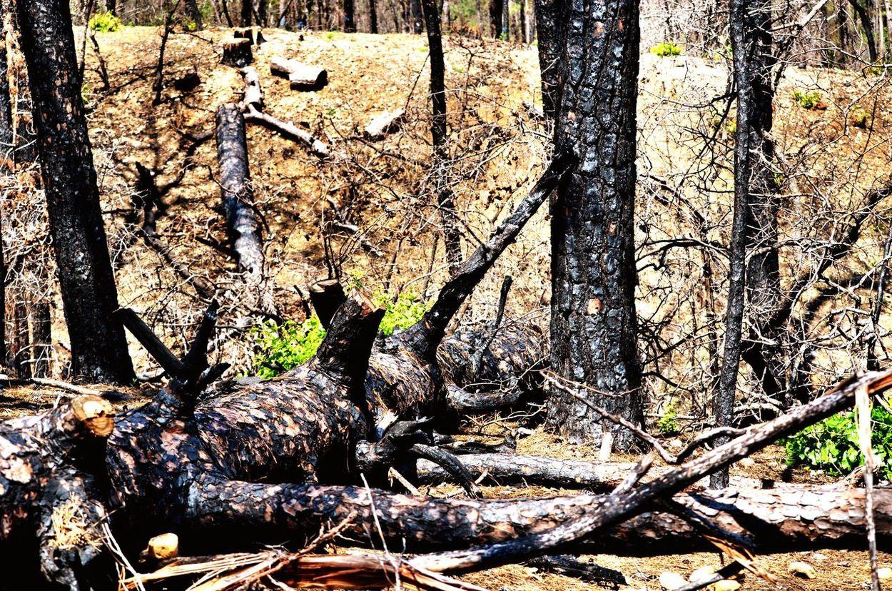 Trees Burnt Burnt Trees Regrowth Regrowing Regrow