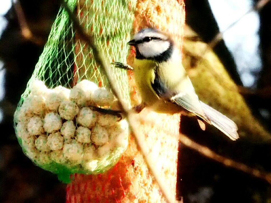 Animals In The Wild Animal Themes Animal Wildlife Bird One Animal Close-up Outdoors No People Nature Perching Day Bird Feeder Beautiful Nature Nature Winter Nature Outside Bird Eating Hanging Food