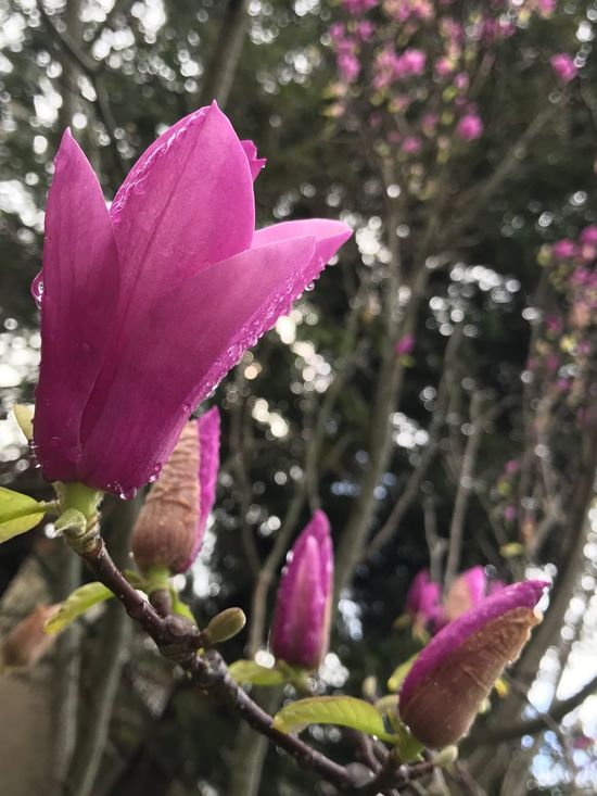 No Filter, No Edit, Just Photography Saucer Magnolia Spring Flowers Flower Freshness Growth Nature Fragility Beauty In Nature Petal Plant Focus On Foreground Close-up Pink Color Flower Head Blooming Purple Day Outdoors No People Leaf Magnolia Blossoms (null)Branch After The Rain