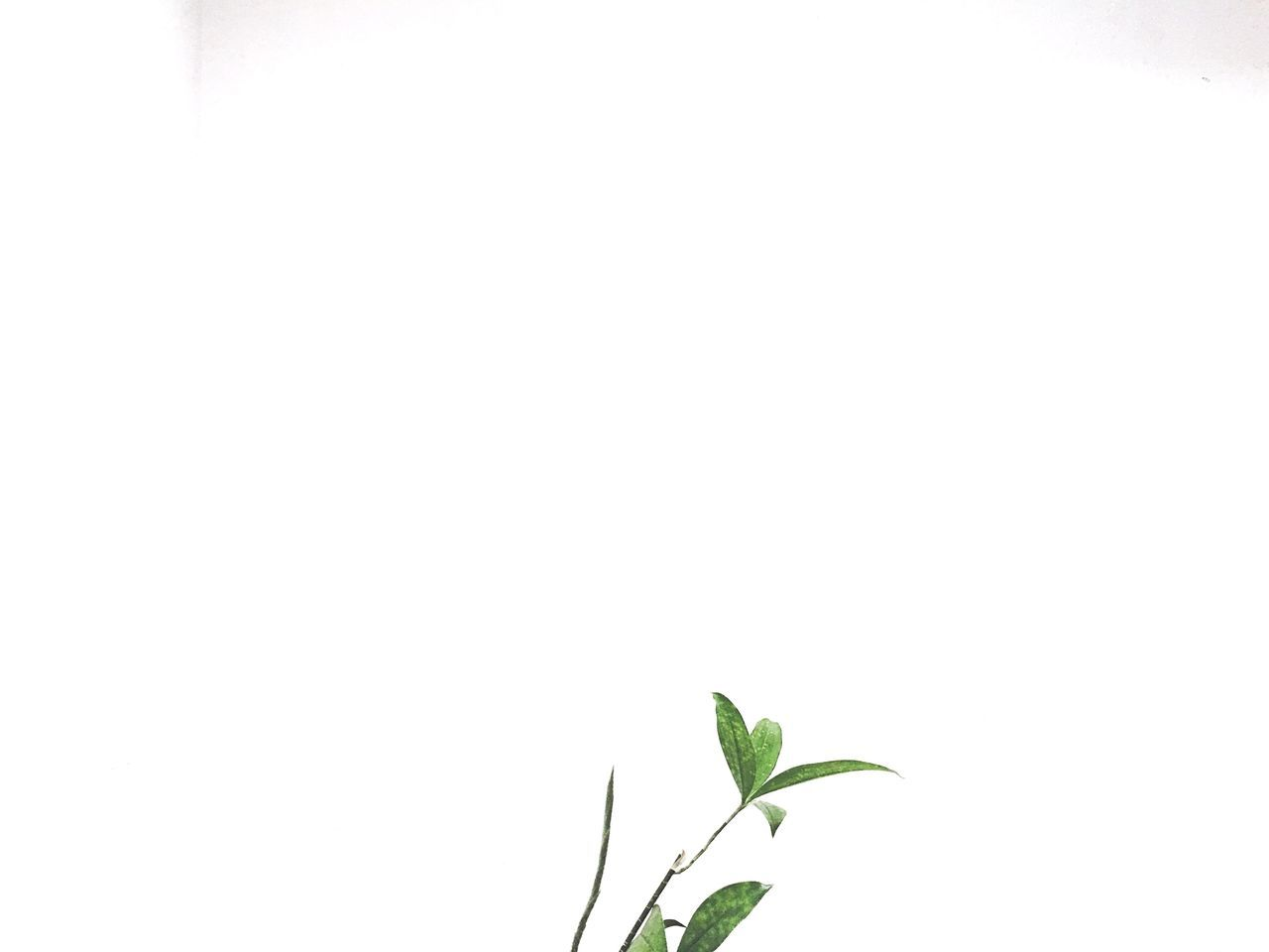 Minimalism is not a lack of something. It's simply the perfect amount of something. Leaf Plant No People Growth Low Angle View White Background Freshness Life Eeyemgallery Eeyem Photography Eyeem Philippines Personal Perspective Eeyemph Minimalobsession Minimalism Eeyem Minimalist Minimalmood Minimal Clean Simple Photography White Simple Things In Life StillLifePhotography