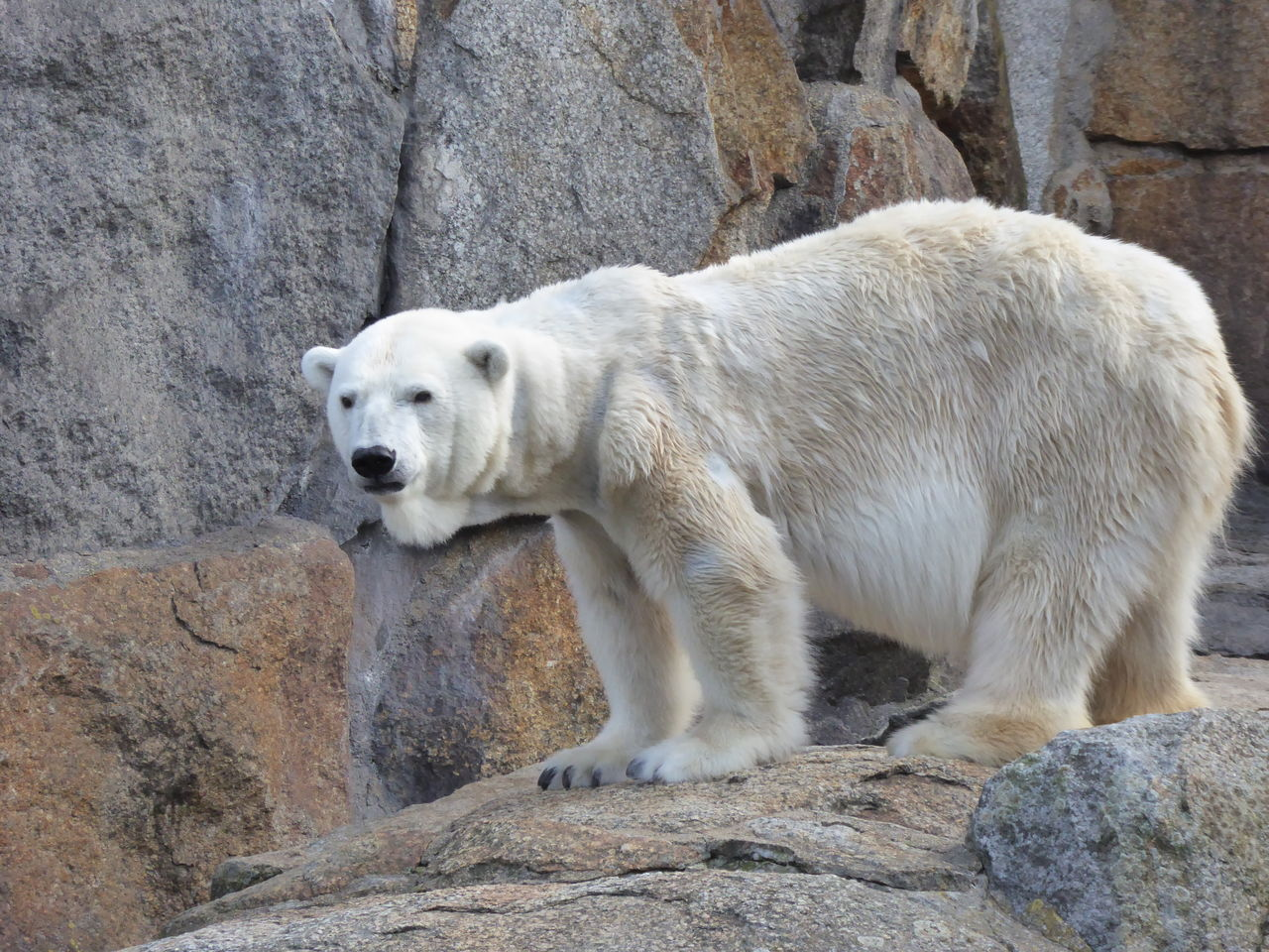 Animal Themes Animal Wildlife Animals In The Wild Bear Climatic Change Endangered Animals Endangered Species Ice Cap Melting Mammal Nature North Pole One Animal Polar Bear Rock Formation Zoo Zoology