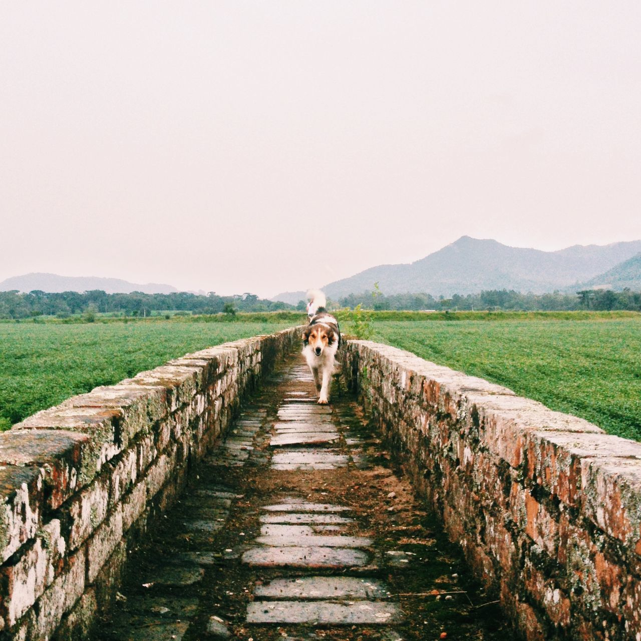 Dog on the Brick Pathway Adapted To The City Agriculture Beauty In Nature Clear Sky Day Dog Landscape Mammal Nature One Person Outdoors Pathway People Real People Rural Scene Sky The Way Forward