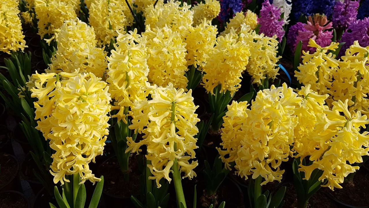 Yellow Flower Fragility Full Frame Close-up Nature Hanging No People Outdoors Backgrounds Market Freshness Beauty In Nature Flower Head Day Hyacint Hyacinthus Hyacinth,spring Hyacinth Flower HyacinthFlowers Hyacinths Blooming Hyacinth Growth Beauty In Nature