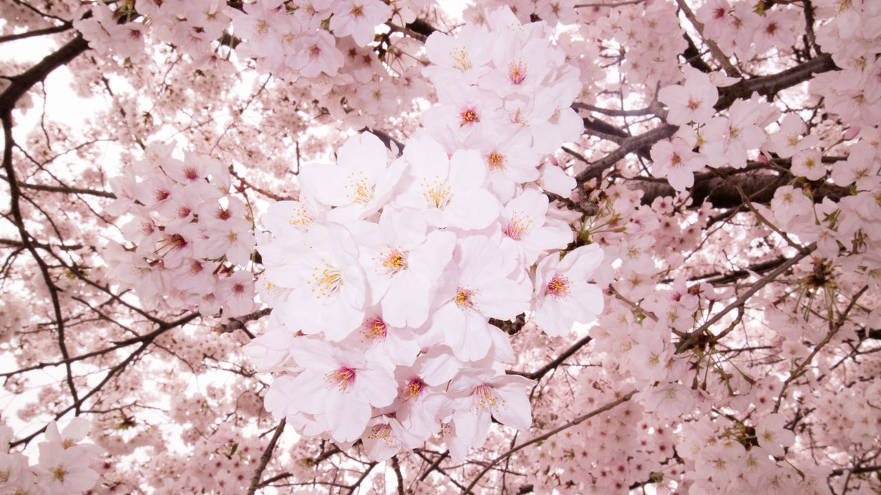 flower, blossom, cherry blossom, tree, cherry tree, nature, fragility, branch, springtime, beauty in nature, growth, botany, orchard, apple blossom, spring, pink color, freshness, no people, blooming, flower head