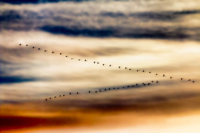 A flock of whooper swans flying in V formation Autumn Birds Dramatic Sky Nature Skein Sunset Swans Wedge Shape Whooper Whooper Swans