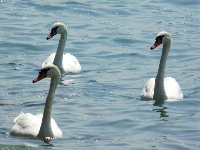 Animal Themes Animals In The Wild Bird Water Wildlife White Color Nature Swan Summer Animals In The Wild Italy Italia River Lago Di Garda