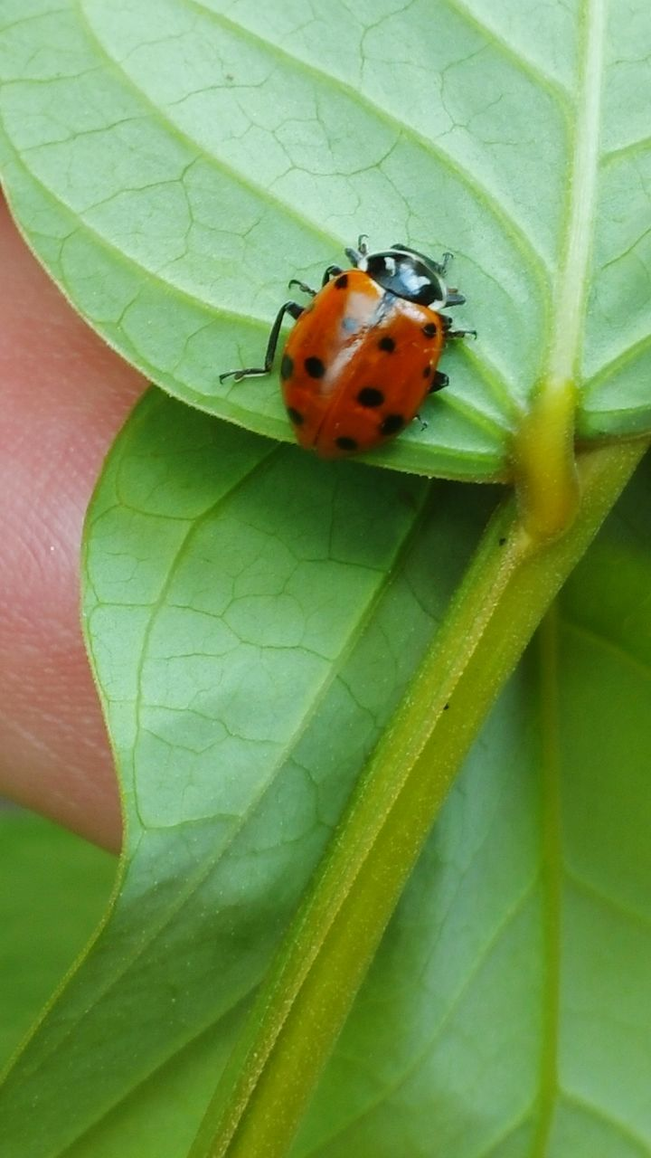 leaf, one animal, animals in the wild, insect, animal themes, green color, day, close-up, outdoors, ladybug, human body part, nature, red, human hand, one person, people