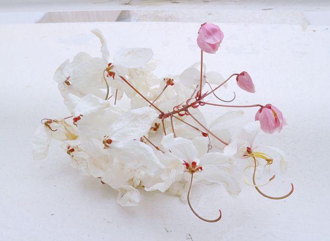 このきれいな花は何かね! 日日本人村JJapanese Villageアアユタヤ