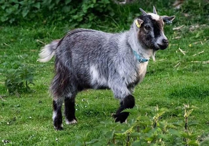 One Animal Animal Themes No People Goats Outdoors Grass