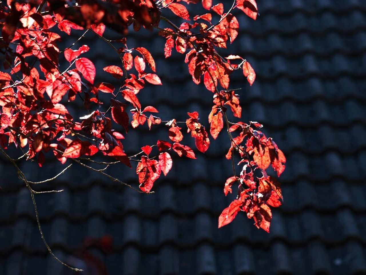 growth, red, outdoors, plant, nature, flower, beauty in nature, no people, day, tree, close-up, freshness, fragility
