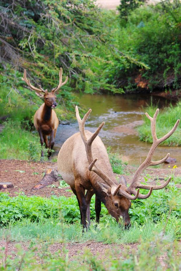 And then there were two (again!)... Nature Eye4photography  EyeEm Nature Lover Animals Animal What I Value Summer Views Elk Eating Deceptively Simple Better Look Twice