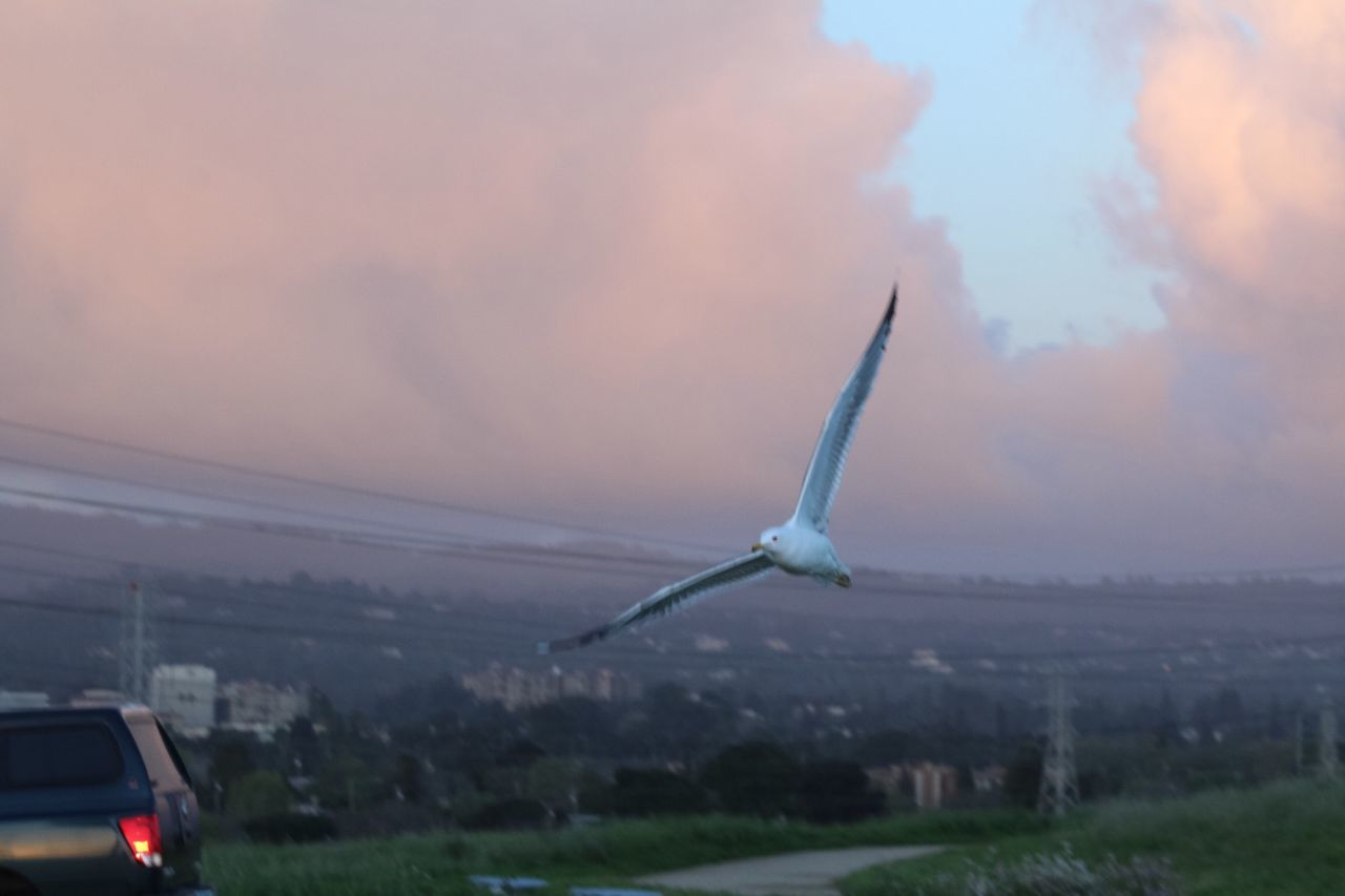 flying, animals in the wild, bird, animal themes, one animal, sky, spread wings, nature, animal wildlife, cloud - sky, outdoors, sunset, no people, mid-air, day, beauty in nature, grass, close-up