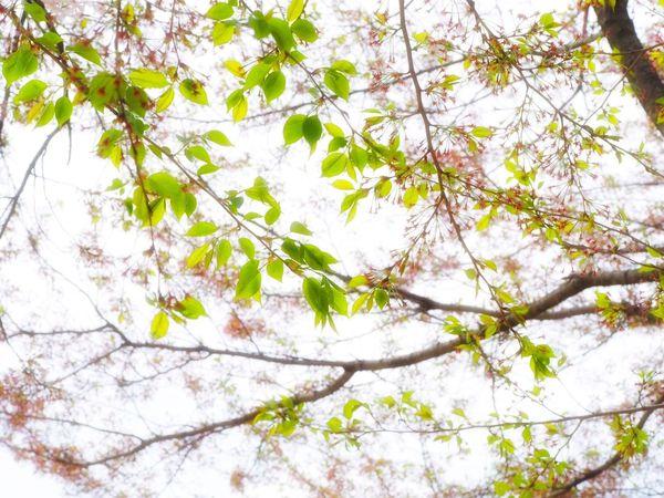 おはよ〜🍃🌸🍃🌸 Goodmorning Spring OlympusPEN EyeEmJapan EyeEm Nature Lover