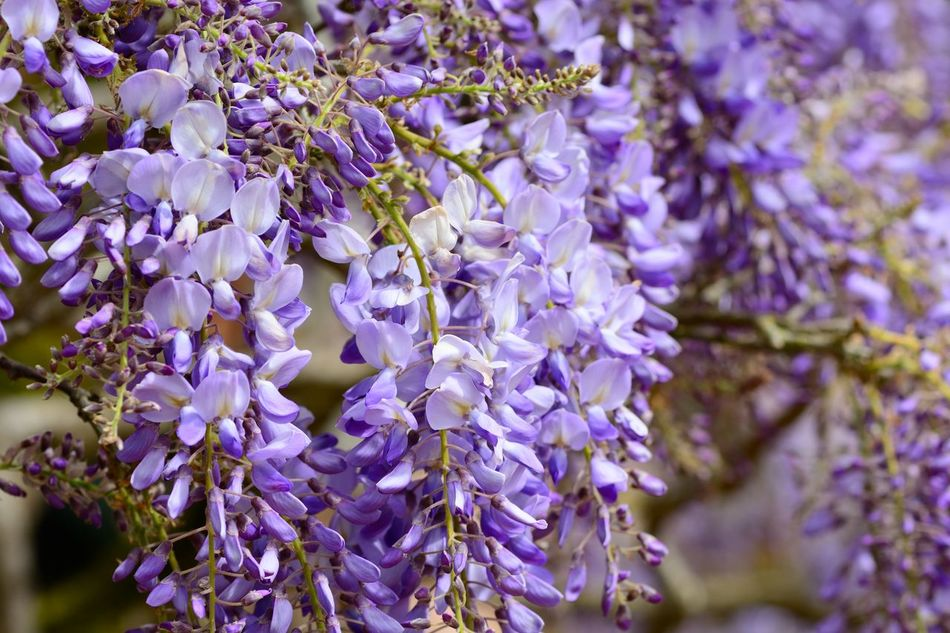 Backgrounds Beauty In Nature Blossom Botany Check This Out Close-up Day Eye4photography  EyeEm Best Shots EyeEm Nature Lover Flower Flowers Fragility Freshness Growth Hanging No People Outdoors Petal Plant Purple Selective Focus Springtime Taking Photos Wisteria
