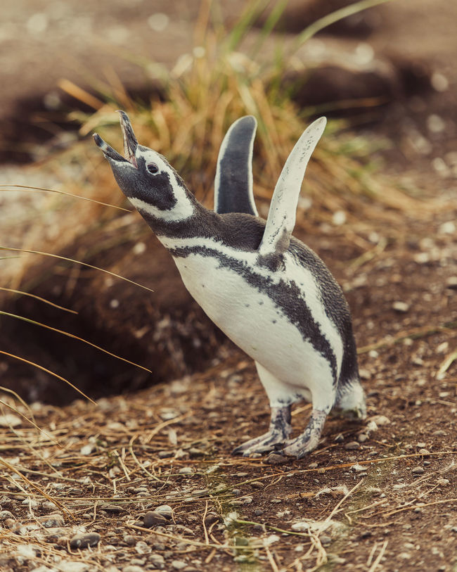 Animal Wildlife Animals In The Wild Argentina Beagle Channel Magallanic Penguin Tierra Del Fuego Province Travel Destinations Ushuaïa