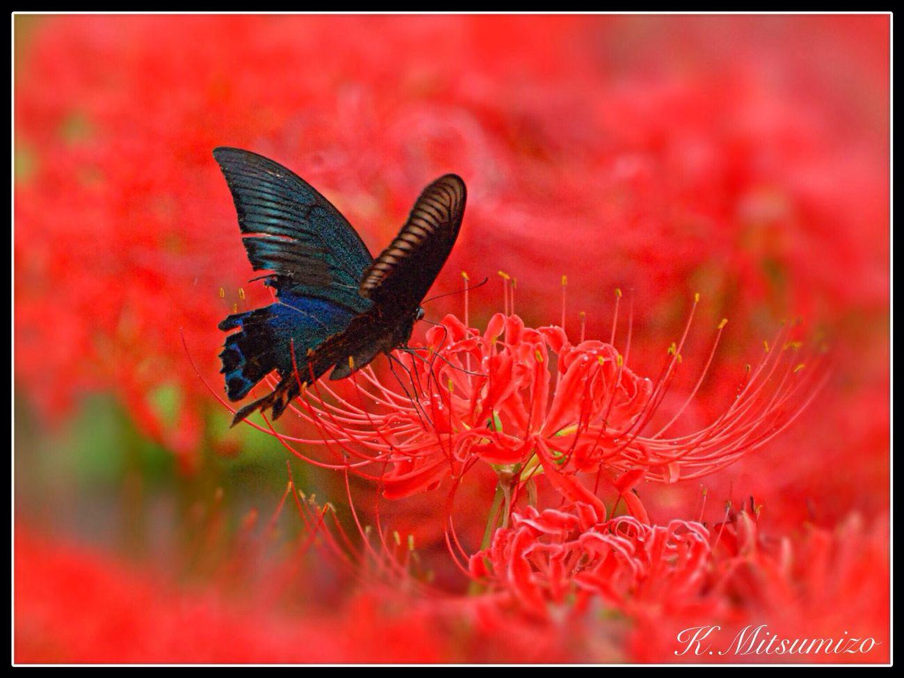 今日もアゲハ蝶 Tadaa Community Butterfly Karatsu 勝蝶 蝶