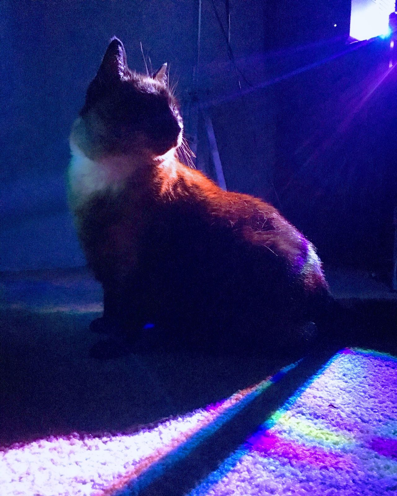 Spotlight Cat Pets Domestic Animals One Animal Domestic Cat Animal Themes Mammal Indoors  No People Feline Night Sitting Illuminated Close-up Limelight Aesthetics Vaporwave Purple
