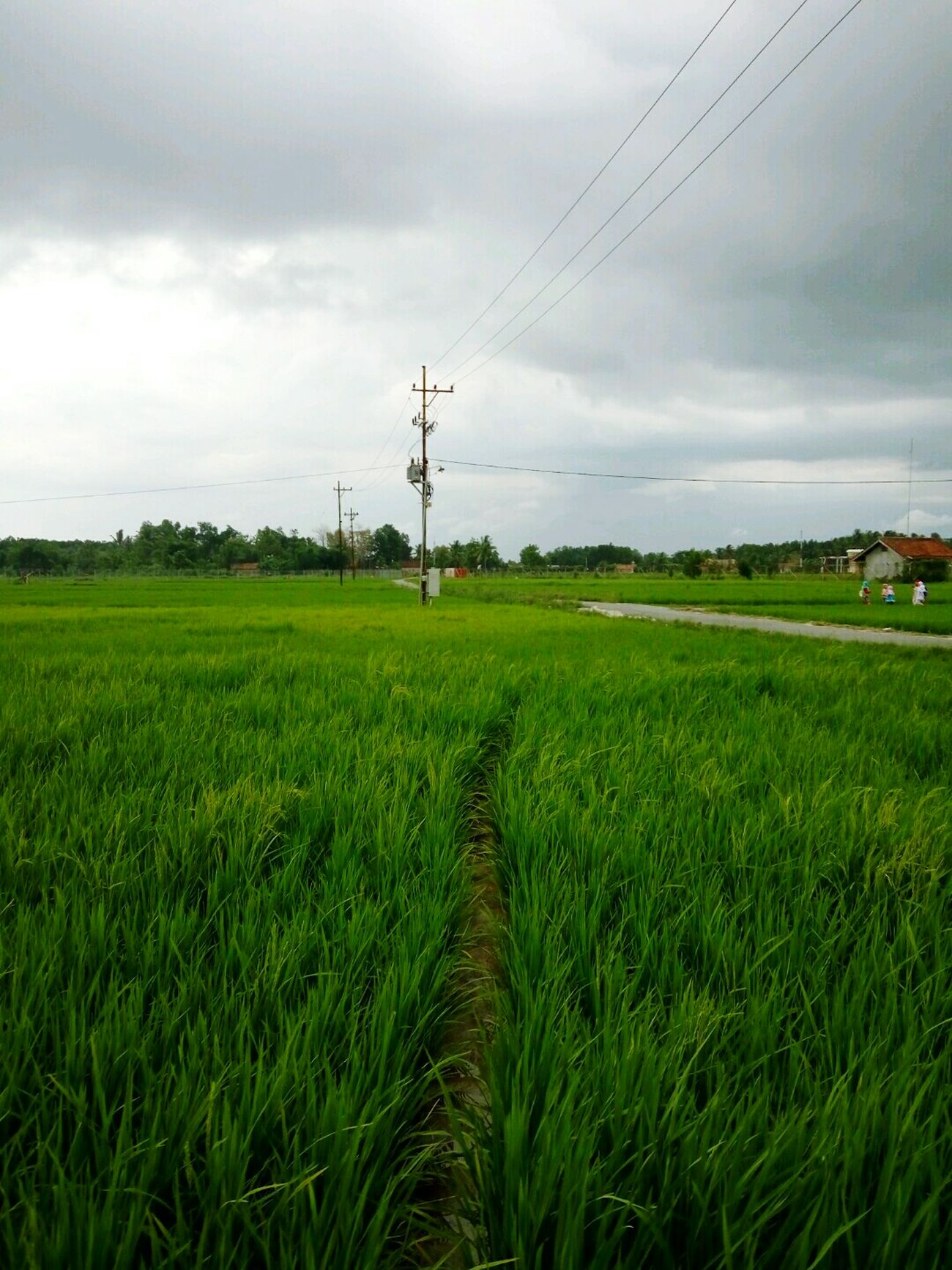 Sawahpadi Sawah Ricefield Sky