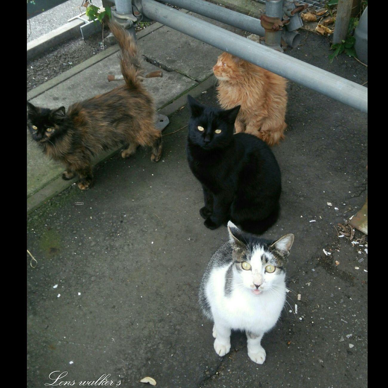 のらだよ!全員集合┐(´д`)┌ハイハイ 野良猫 Stray Cat 猫 Cat Animals 自由猫 茶トラ 7614804 サビ猫 サバトラ白
