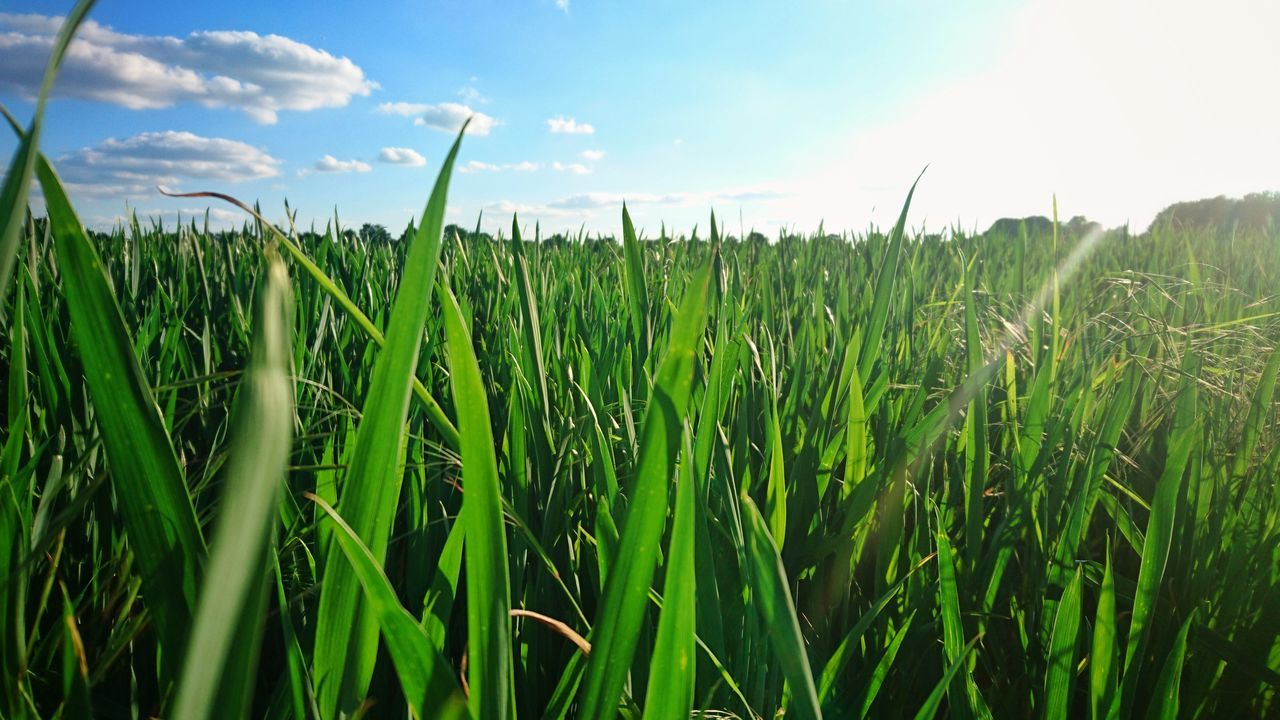 Gras Field Nature No People Beauty In Nature Agriculture Growth Green Eyem Nature Lovers  Sky Beauty In Nature Mobile Photography Sunshine Blue Sky Grassland Grass Grassfield Clouds Springtime