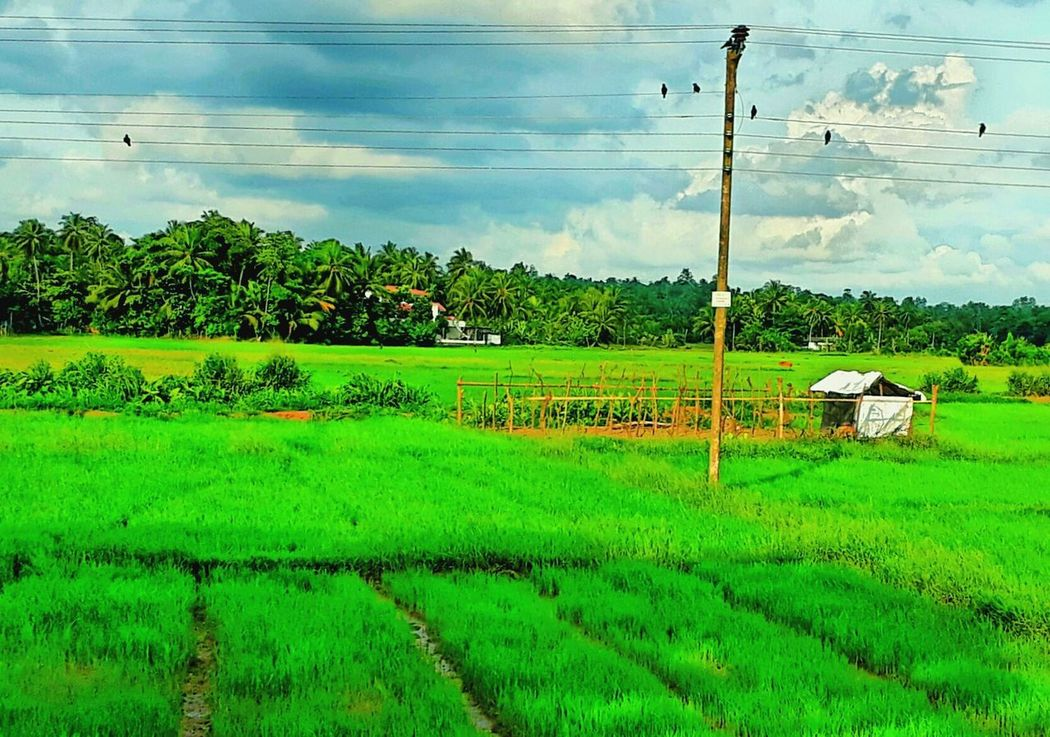 Paddy Field Paddy Cloud - Sky Nature Green Color Trees No People Beauty In Nature Outdoors Cable Electricity  Power Line  Rural Scene