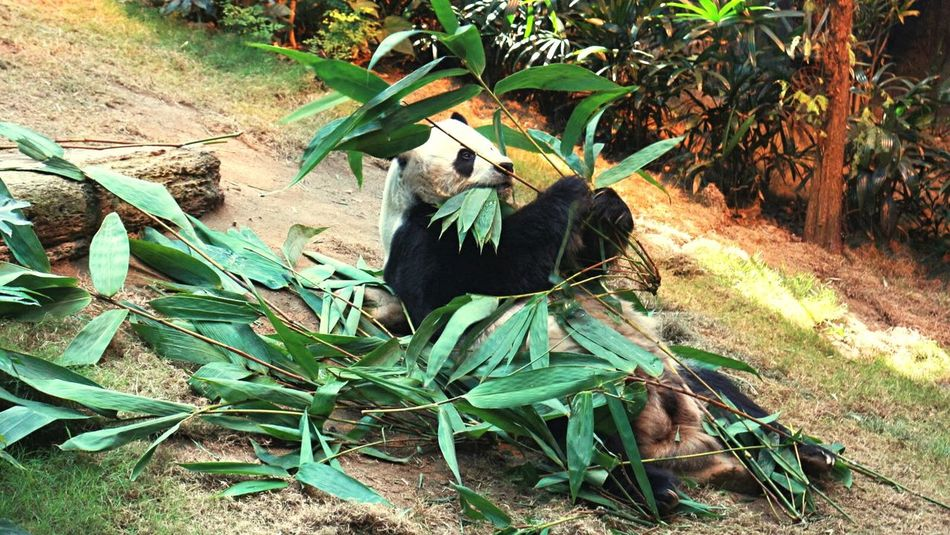 Beautiful stock photos of panda, Activity, Animal Themes, Animals In The Wild, Bear