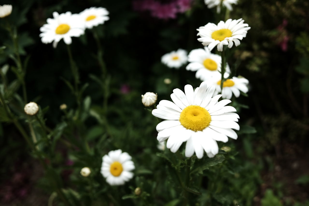 flower, white color, petal, freshness, fragility, nature, flower head, beauty in nature, blooming, growth, no people, close-up, plant, day, outdoors
